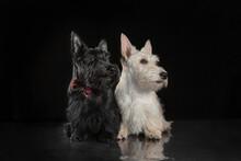 Pair Of Black And White Scottish Terrier Puppies On Dark Background