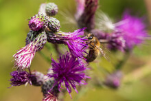 The Bee On A Purple Thistle Flower Is Covered With Pollen.