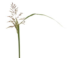 Cane Flowers, Reed Seeds And Grass Isolated On White Background
