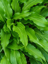 Hosta Abstract. A Variety Of Hosta With Crinkly Leaves Makes A Nice Abstract Image When Viewed From The Top.