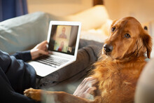 Portrait Golden Retriever Dog Laying Next To Man Video Conferencing