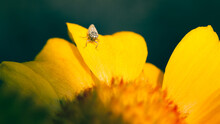 Close Up Of Leaf Hopper Insect On Yellow Gaillardia Flower