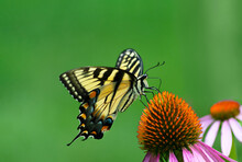 Side Of  View Yellow And Black  Eastern Tiger Swallowtail Butterfly Feeding From Purple Coneflower With Open Green Background