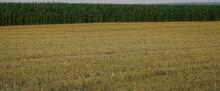 Stubble. Wheat Stalks At Sunset Following The Threshing Process.