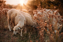 A Flock Of Sheep Grazes On A Beautiful Meadow At Sunset