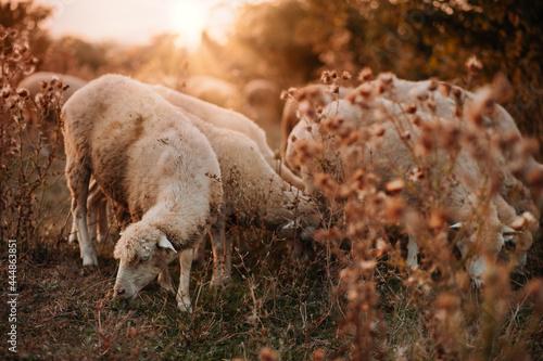 Vászonkép A flock of sheep grazes on a beautiful meadow at sunset
