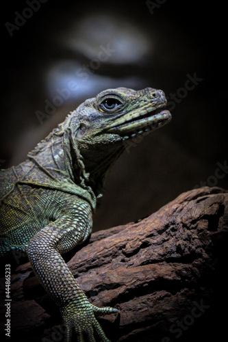 Fotografie, Obraz Hydrosaurus pustulatus