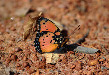 Gaudy Commodore Butterfly In Bush Of Zambia South African Region Africa