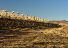 Diminishing Perspective Of Protective Apple Nets In The Late Winter Sunshine On The Free State Highveld