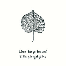 Large-leaved Lime (Tilia Platyphyllos) Leaf. Ink Black And White Doodle Drawing In Woodcut Style.