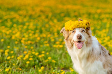A Dog Of The Australian Shepherd Breed Sits In The Middle Of A Green Field With Yellow Flowers With A Yellow Wreath On His Head With His Tongue Hanging Out. Place For Text