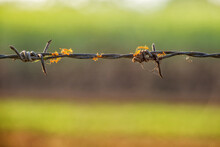 Ant On Barbed Wire With Green Background At Sunrise