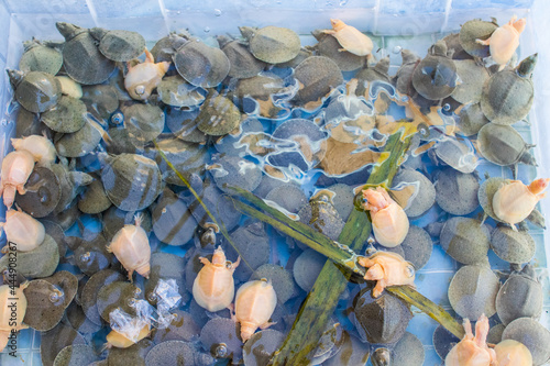 Fotografija Young water turtles for sale