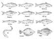 Type different fish isolated on white. Vintage hatching vector monochrome black illustration