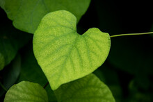 Nature Green Leaves Background Of Aristolochia Macrophylla, Beautiful Leaf Pattern Texture In Small Heart Shape, Dutchman's Pipe Or Pipevine Is A Vine Belongs To The Plant Family Aristolochiaceae.