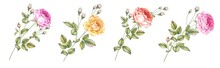Watercolor Elements Of Blooming Rose. Set Garden Flowers. Collection Botanic Illustration Leaves, Flower And Branches.