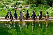 A Group Of Humboldt Penguins