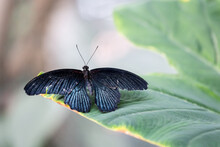 Close-Up Of Great Mormon (Papilio Memnon) Butterfly Sitting Unfolded On A Leaf.