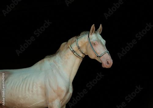 Tablou Canvas Perlino akhal-teke stallion portrait dressed in traditional Turkmenian finery is