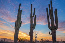 Close Up View Of Saguaro Cactus Stand In Arizona