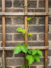 Runner Bean Plant Climbing Up A Wooden Trellis