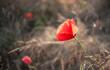 Poppy field. Mak polny