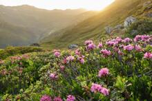 Sonnenuntergang über Einem Berghang Voller Alpenrosen