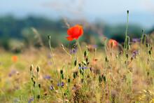 Stimmungsvolles Naturfoto Mit Mohnblume In Kornfeld Bei Sonnenschein - Stockfoto