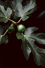Two Figs On A Fig Tree Surrounded By Fig Leaves
