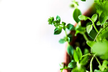 Detail Image Of One Branch From An Oregano Plant In Planter Sitting On A Clean White Surface.