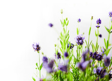 A Fresh Lavender Plant Close Up With Many Purple Flowers Against A Bright Wall.