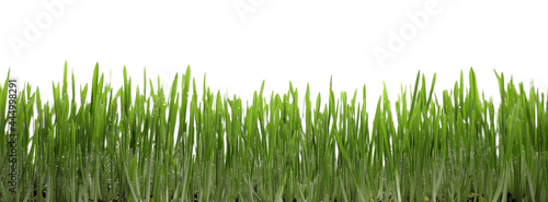 Beautiful lush green grass with water drops on white background