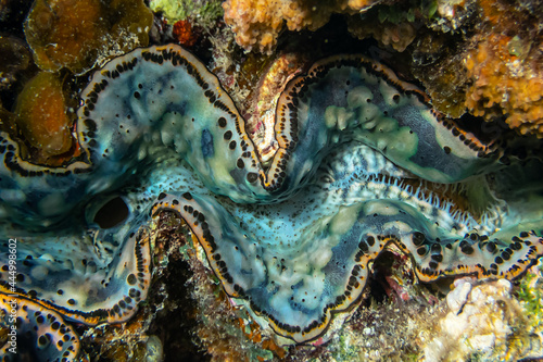 underwater world, cockle Giant Clam in the Red Sea showing Colorful mantle Fototapete