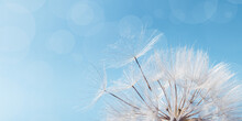 White Fluffy Dandelion On Soft Blue Sky With Copy Space. Beautiful Flower With Fly Seeds Close Up. Abstract Nature