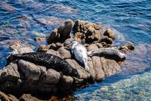 Three Monk Seals Sunbathing On Rocks In Ocean Of Monterey Bay, California