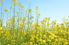 Field, Sky, Flower, Nature, Agriculture, Spring, Yellow, Meadow, Canola, Plant, Flowers, Summer, Landscape, Rapeseed, Grass, Oilseed, Farm, Colza, Oil, Rural, Blossom, Blue, Clouds, Tree, Countryside,