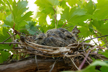 Two Baby Doves Are Hiding In A Nest On A Vine On A Sunny Summer Day In A Garden. Bird In Nature Concept