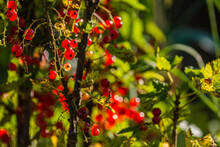 Red Currants On Brown Branches, Illuminated By The Rays Of The Sun. Red Currants On Brown Branches, Illuminated By The Rays Of The Sun.