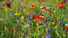 Wild Flower Meadow With Poppies And Cornflower