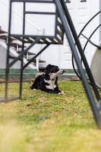 Perro Border Collie Cachorro Macho