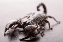 Black Scorpion Close-up On A Grey Background. Soft Light