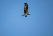 A Beautiful Osprey Let Its Claws Out And Ready For The Dive On The Clear Blue Sky