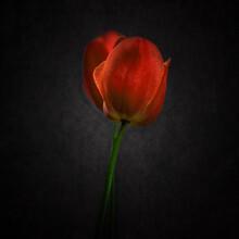 Red Tulip On Black
