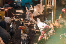 Birds Of Poultry Farm. Chickens, Roosters, Turkeys. Different Birds Of Farmland.