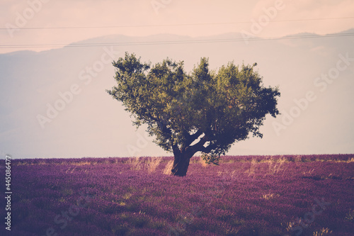 Obraz na plátně Old beautiful tree in the middle of lavender field - travel scenic places and ou