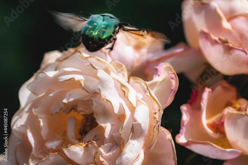 Valokuva Green green rose chafer and roses
