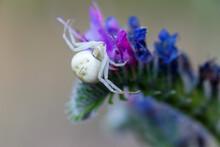 Misumena Vatia. Crab Spider On A Flowering Plant.