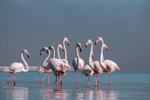 Wild African Birds.  Flock Of Pink African Flamingos  Walking Around The Blue Lagoon On The Background Of Bright Sky On A Sunny Day.