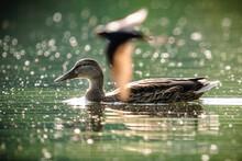 Female Mallard Duck And Swallow