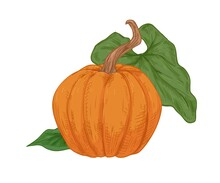Autumn Orange Pumpkin With Peduncle And Green Leaf. Vintage Drawing Of Fall Round-shaped Squash. Realistic Detailed Gourd. Hand-drawn Vector Illustration Of Whole Pumkin Isolated On White Background
